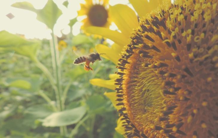 sunflower-983894_960_720